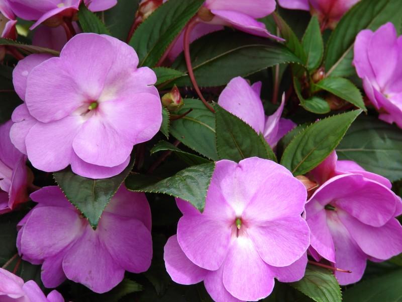 گل حنا