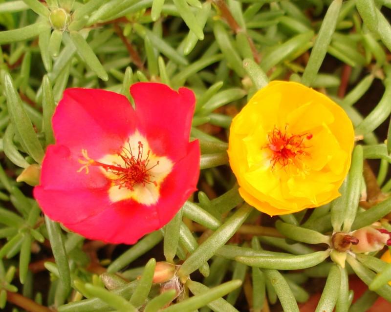 گل ناز بارنگ های مختلف3